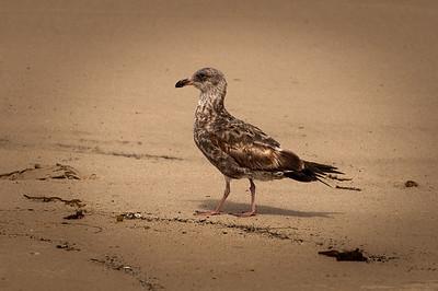 A juvenile California Gull (Larus californicus)