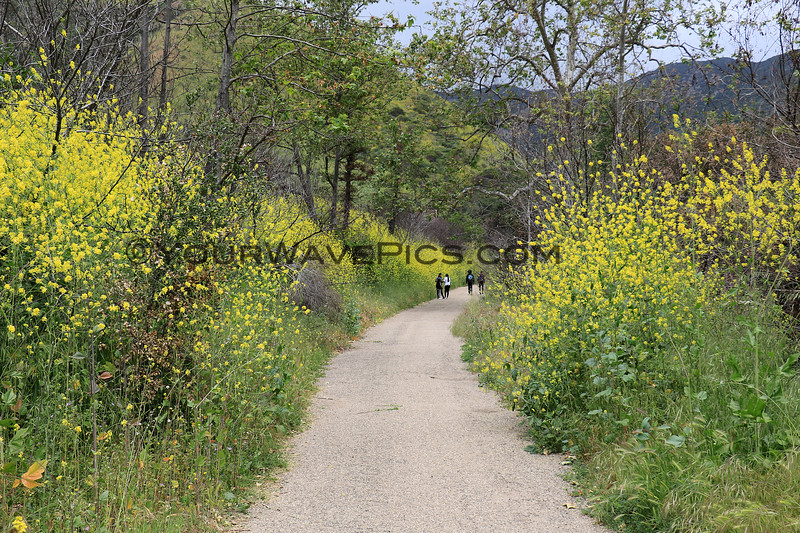 2019-04-16_Malibu_Solstice Canyon_9.JPG<br /> <br /> Five months after the devastating Woolsey fire in Malibu, the canyons are in bloom.