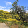 2019-04-16_Malibu_Solstice Canyon_17.JPG<br /> <br /> Five months after the devastating Woolsey fire in Malibu, the canyons are in bloom.