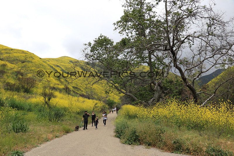 2019-04-16_Malibu_Solstice Canyon_7.JPG<br /> <br /> Five months after the devastating Woolsey fire in Malibu, the canyons are in bloom.