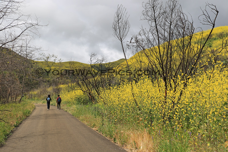 2019-04-16_Malibu_Solstice Canyon_5.JPG<br /> <br /> Five months after the devastating Woolsey fire in Malibu, the canyons are in bloom.