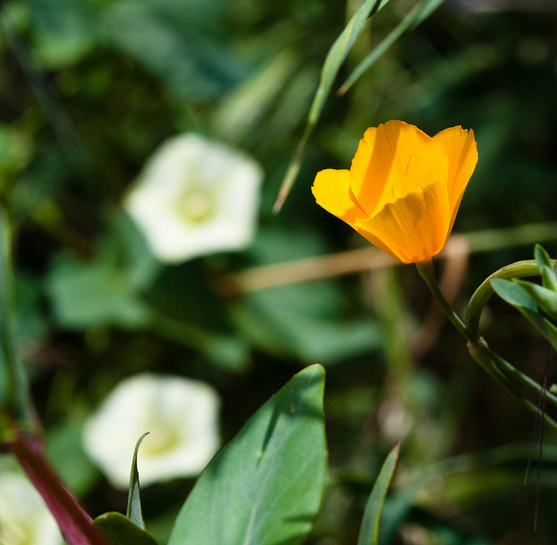 One of rare California poppies