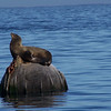 California Sea Lions sun themselves on buoys in Monterey Bay