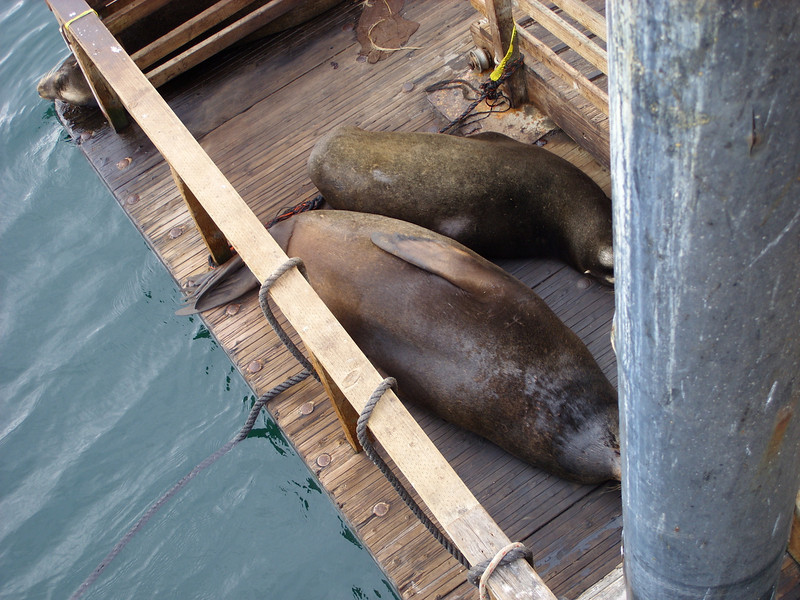 Sea lions resting on the dock below a fish-cleaning station at Fisherman's Wharf, Monterey