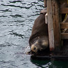California Sea Lion snoozing after a breakfast of fish