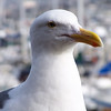 Western Gull, found almost exclusively along the western coast.