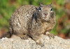Pacific Grove Squirrels_20120508  013