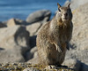 Pacific Grove Squirrels_20120508  003