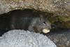 Pacific Grove Wildlife_2014-Aug  024