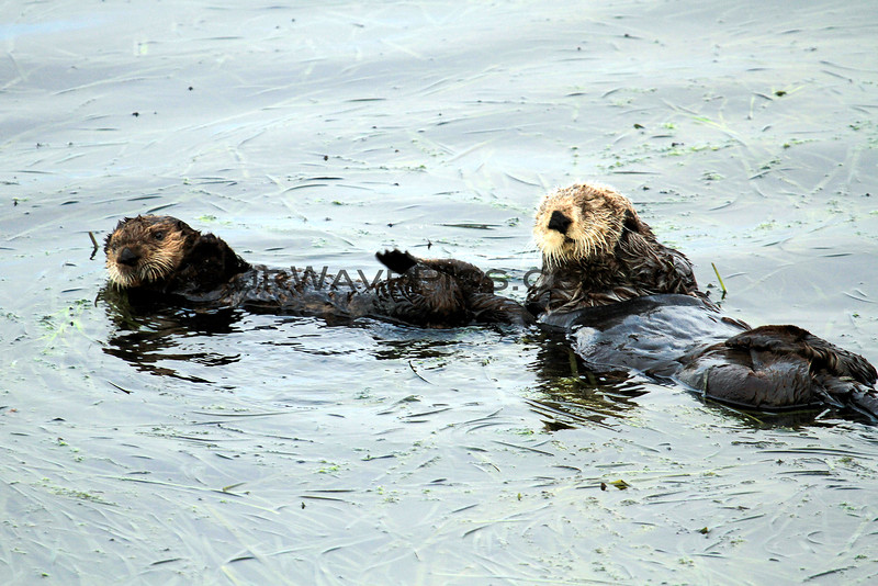 2370-99_2014-08-15_Morro Bay Otters.JPG