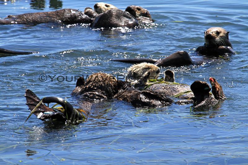 2370-19_2014-08-16_Morro Bay Otters.JPG