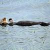 2370-96_2014-08-15_Morro Bay Otters.JPG