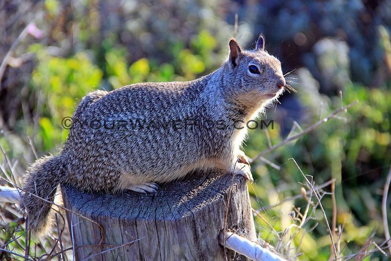 4271_Moonstone Beach Squirrel_2015-08-18.JPG