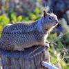 4271_Moonstone Beach Squirrel_2015-08-18.JPG