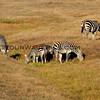 4275-7814_Zebras_San Simeon_2015-08-18.JPG
