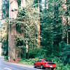 Size of the Trees Was Astounding - Redwood National and State Parks - N. California Coast  5-27-98