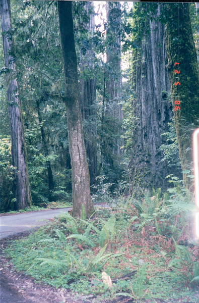 Redwood National and State Parks - N. California Coast  5-27-98