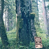Stout Memorial Grove - Redwood National and State Parks - N. California Coast  5-27-98