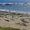 8816_Elephant Seals