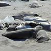 8816-6324_Elephant Seals