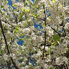 Cherry Blossoms - Old Town Temecula, CA
