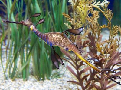 Monterey Bay Aquarium  Weedy Sea Dragon  Copyright 2011 Neil Stahl