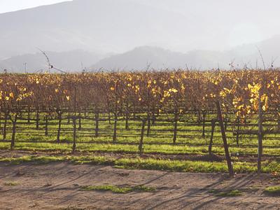Grape vines  Copyright 2011 Neil Stahl
