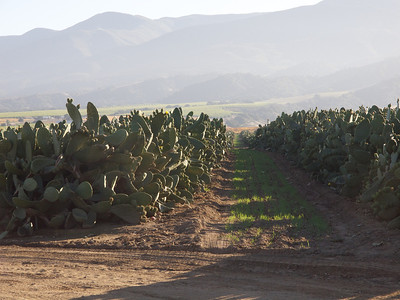 Field of Cactus  Copyright 2011 Neil Stahl