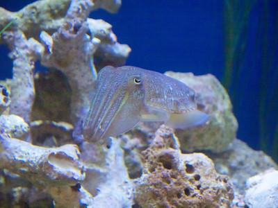 Cuttlefish  Monterey Bay Aquarium  Copyright 2011 Neil Stahl