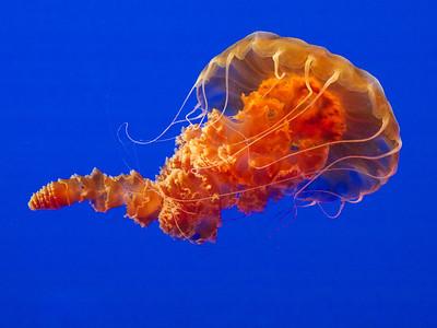 Black Sea Nettle  Monterey Bay Aquarium  Copyright 2011 Neil Stahl