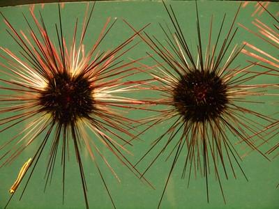 Sea Urchin and Shrimpfish, Monterey Bay Aquarium  Copyright 2011 Neil Stahl