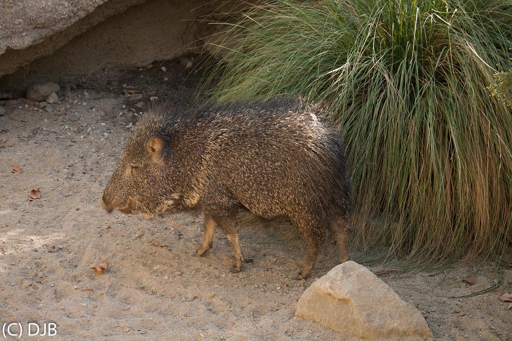Javelina, The Living Desert, Palm Desert, CA