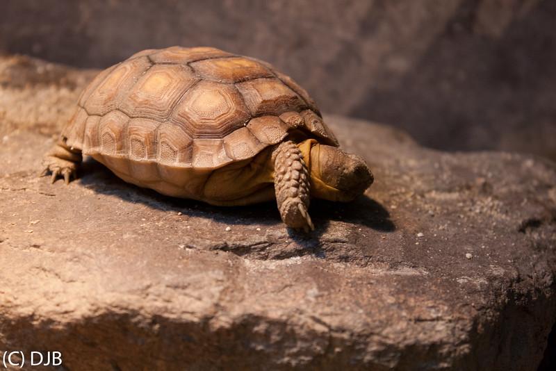 Desert Tortoise, The Living Desert, Palm Desert, CA