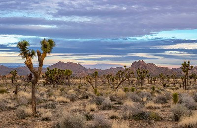 Joshua trees in the early morning