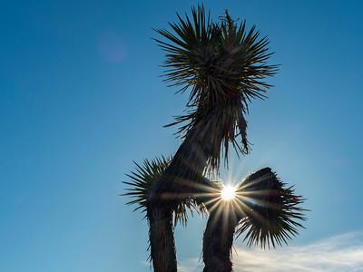 Sun blazing throiugh Joshua tree