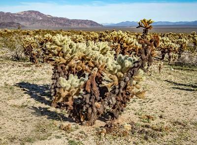 Cholo cactus garden