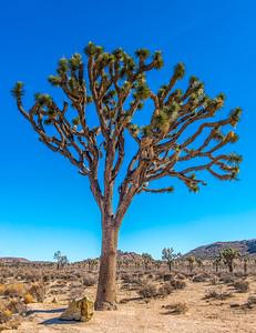 Joshua Tree-7