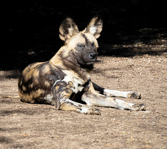 Living Desert: African Wild Dog...relaxing with one eye open