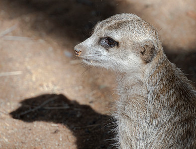 Living Deseret: Mr. Meerkat on the lookout