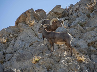 Living Desert: Big Horn Sheep