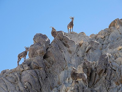Living Desert: Big Horn Sheep...Living Desert