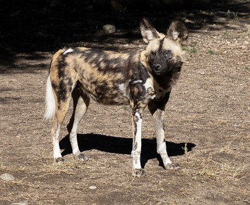 Living Desert: African Wild Dog...Pack leader