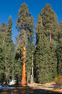 Sequoias04