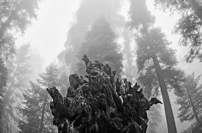 Sequoias_Roots06