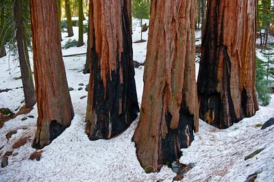Sequoias10