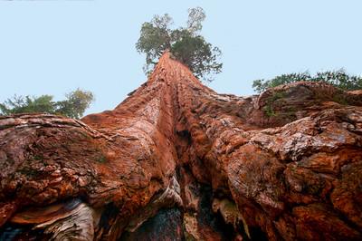 Sequoias_GenGrant02