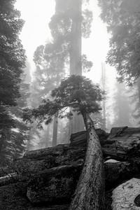 Sequoias47b