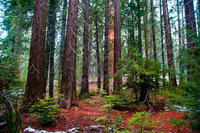 Sequoia_Pines-5