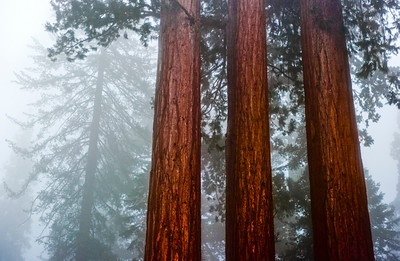 Sequoias40