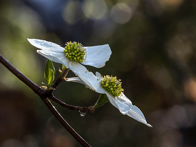 Dogwood bloom and morning dew